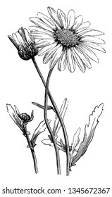 A picture is showing Oxeye Daisy, also known as Chrysanthemum leucanthemum. It belongs to Compositae family. Leaves have long-toothed margins. Petals are rectangular, vintage