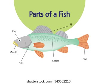 A picture showing the parts of a fish