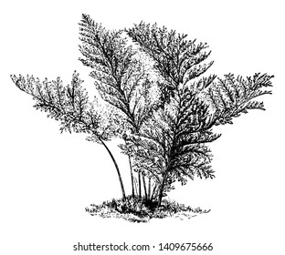 A picture is showing Polypodium Vulgare Elegantissimum. It belongs to Polypodiaceae family. This is an attractive form of Polypodium Vulgare, vintage line drawing or engraving illustration.