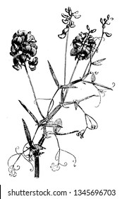 Picture showing a Portion of Flowering Stem of Lathyrus Sylvestris. They flower grow in July-August, vintage line drawing or engraving illustration.