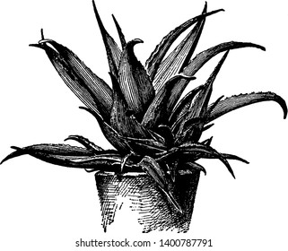 Picture shows Aloe Vera plant. It is used as medicine in medical and the leaves are thick, fleshy, green to grey-green, with some varieties showing white flecks on the upper and lower stem surfaces