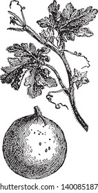 A picture shows Bitter Apple. Citrullus colocynthis, with many common names including colocynth, bitter apple, bitter cucumber, desert gourd, Egusi, vine of Sodom, or wild gourd, is desert viny plant