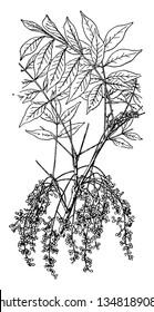 A Picture shows the branch of Poison Sumac Plant. It is is a shrub and The fruit and leaves of the poison sumac plant contain urushiol, an oil that causes an allergic rash upon contact with skin