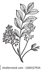 A Picture shows the branch of Sumac Plant. The fruits form dense clusters of reddish drupes called sumac bobs. It is small shrub, vintage line drawing or engraving illustration.