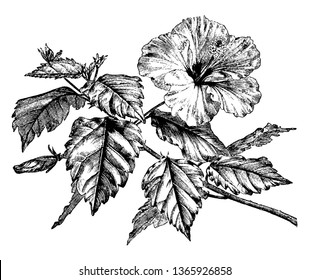 Picture shows the Hibiscus Rosa-Sinensis plant. Branch in this image shows the flowering part and leafs on each petiole. Flower and leafs are large in size, vintage line drawing or engraving