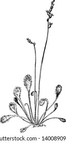 The Picture shows Long-Leaved Sundew Plant. It is native to America and it belongs to Droseraceae family. It is also called as Cape sundew. It has long petioles support, vintage line drawing