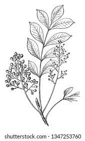 A picture shows Poison Sumac Plant along with berries, Leaves. The fruit and leaves of the poison sumac plant contain urushiol, oil that causes an allergic rash upon contact with skin, vintage
