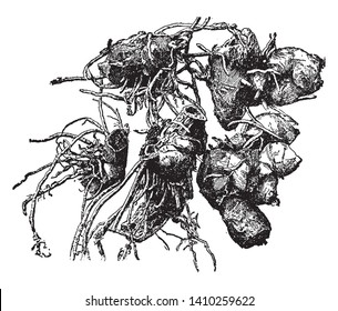 A picture shows is stool of canna plants demonstrating how it might be partitioned. They can be straightforwardly planted in the ground, vintage line drawing or engraving illustration.