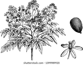 Picture shows that Melia Azedarach Floribunda has many varieties of flowers compared to Melia Azedarach. These flowers are also in smaller size, vintage line drawing or engraving illustration.