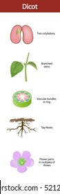 A picture summarizing the features of a dicot.