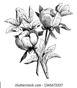 A picture, that's showing a flowering branch of paeonia wittmanniana. This is from Paeoniaceae family. The flower is round shaped, vintage line drawing or engraving illustration.