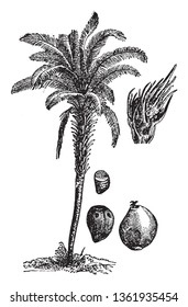 A picture, that's showing a oil palm tree. This plant is very long and thick. The flower and fruit are red its produces palm oil. The leaves are long and hairy. Stem is thick, vintage line drawing