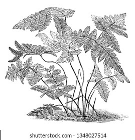 A picture, that's showing Polypodium Dryopteris. It is also known as Oak Fern. The leaves are slender shaped. It found in Great Britain, vintage line drawing or engraving illustration.