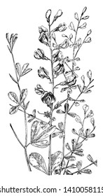 The picture, that's showing two plants, one is the Blue False Indigo and second is Wild Indigo. Those are flowering plant, vintage line drawing or engraving illustration.