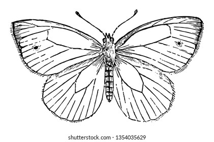 Pieris Napi is very like the cabbage butterfly vintage line drawing or engraving illustration.