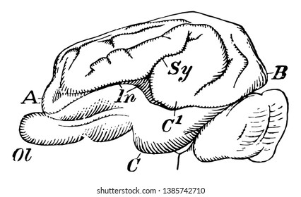 Pig Brain in which occipital and temporal lobes are presents, vintage line drawing or engraving illustration.