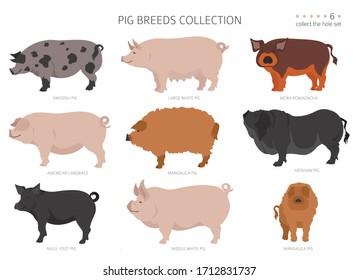 Pig breeds collection 6. Farm animals set. Flat design. Vector illustration