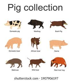 Pig collection vector illustration isolated on white background. Boar, warthog, red river hog, pumba, domestic swine, babirusa. Pork meat poster, butcher shop. Organic food presentation. Farm animal.