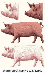 Pig. Design set. Hand drawn engraving. Editable vector vintage illustration. Isolated on white background. 8 EPS