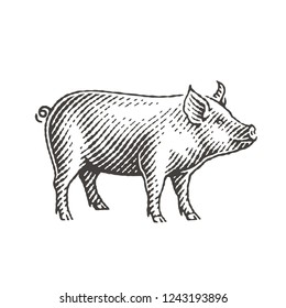 Pig. Hand drawn engraving style illustrations.