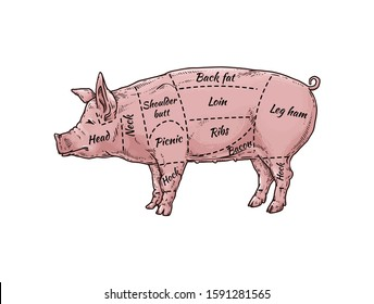 Pig meat body part guide for butcher shop - hand drawn pink farm animal with named pork cut parts. Loin, bacon, ribs and other sections - flat isolated vector illustration.