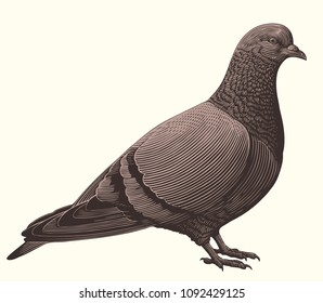 Pigeon. Hand drawn engraving. Vector vintage illustration. Isolated on white background. 8 EPS
