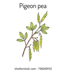 Pigeon pea (Cajanus cajan), medicinal plant. Hand drawn botanical vector illustration