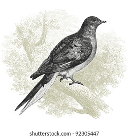 "Pigeon - vintage engraved illustration - ""Histoire naturelle"" by Buffon and Lacepe  ed. Alfred Mame - Tours 1881"