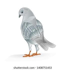 Pigeon white breeding bird  domestic breeds sports bird on white background vintage   vector  animals illustration for design editable hand draw