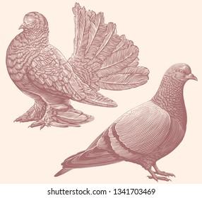 Pigeons. Design set. Hand drawn engraving. Editable vector vintage illustration. Isolated on light background. 8 EPS
