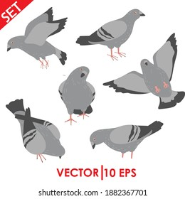 Pigeons set. Vector illustration of cartoon pigeon in different poses.