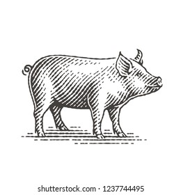 Piggy. Hand drawn engraving style illustrations.