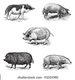 Pigs 1. Pig Siam. 2. Szalonta pig race. 3. Swine York. 4. Pork Essex. 5. Pork Norman race, vintage engraved illustration. Dictionary of words and things - Larive and Fleury - 1895.