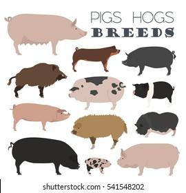Pigs, hogs breed icon set. Flat design. Vector illustration
