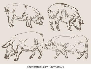 pigs vector, hand draw sketch