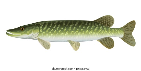 "Pike Fish Northern Pike (Esox Lucius) Freshwater. ""Full compatible Vector. Created with gradients."""