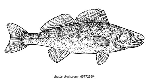 Pike perch illustration