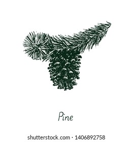 Pine branch with pine cone, vector black and white doodle sketch illustration with inscription, gravure style