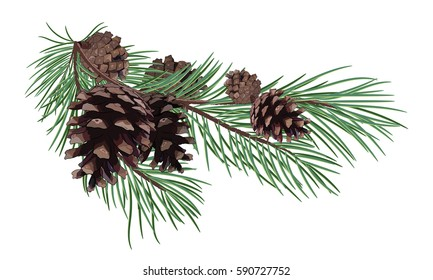 Pine branch with Cones, isolated on white, vector illustration