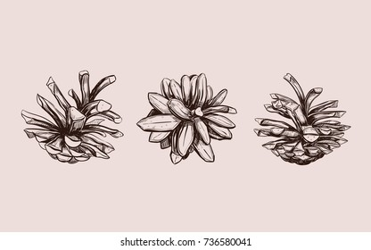 Pine cone . Vector hand drawn illustration. Isolated objects. Christmas cones set  in sketch style. Fir-tree cones