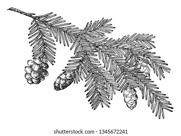 Pine cone of Western hemlock. It is a large tree usually grows 30 to 50 metres tall. It has a rather narrow crown and down-sweeping branches and delicate feathery foliage, vintage