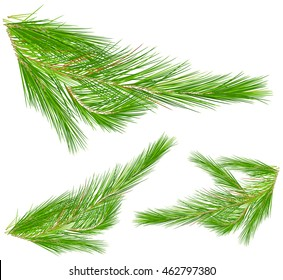 Pine leaves on white background illustration