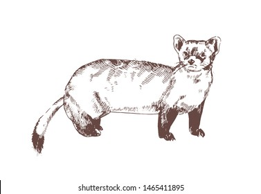 Pine marten hand drawn with contour lines on white background. Elegant detailed drawing of carnivorous animal. Wild forest species. Monochrome realistic vector illustration in antique etching style.