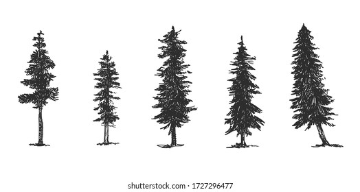 pine sketch side view Hand Draw of a lodgepole pine