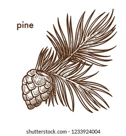 Pine tree branch with needles and cons, monochrome sketch outline