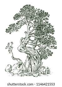 Pine tree or Evergreen Juniper, Cypress isolated object.Engraved hand drawn in old vintage sketch. tropical plant.