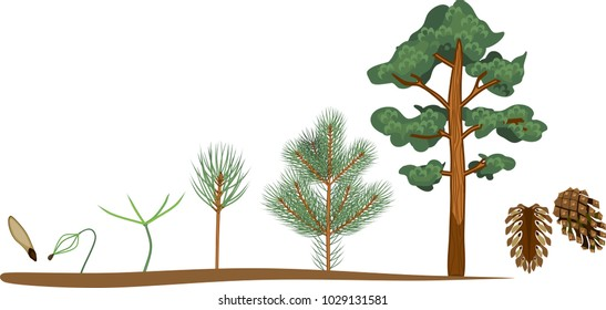 Pine tree life cycle. Plant growin from seed to mature pine tree with cones