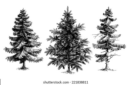 Pine trees / Christmas trees realistic hand drawn vector set, isolated over white