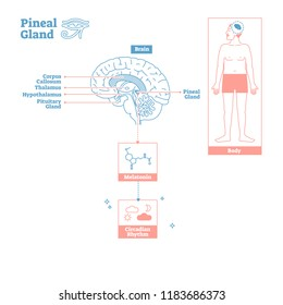 Pineal Gland of Endocrine System.Medical science vector illustration diagram.Biological scheme with brain cross section and melatonin chemical circadian rhythm body function.Labeled infographic poster