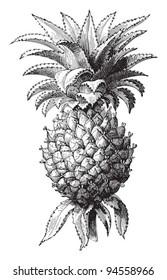 Pineapple (Ananas comosus) / vintage illustration from Meyers Konversations-Lexikon 1897
